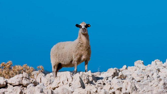 Paška ovca 01