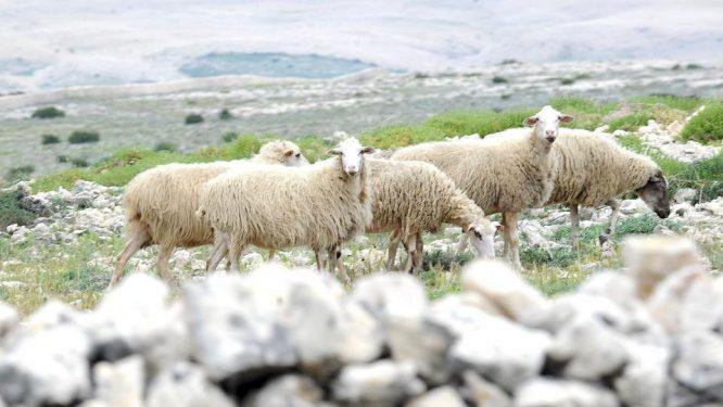 Paška ovca 02
