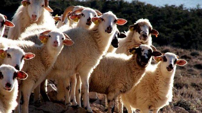 Paška ovca 03