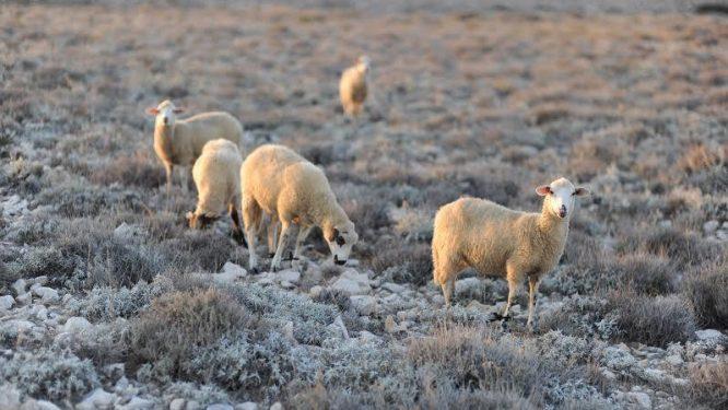 Paška ovca 05