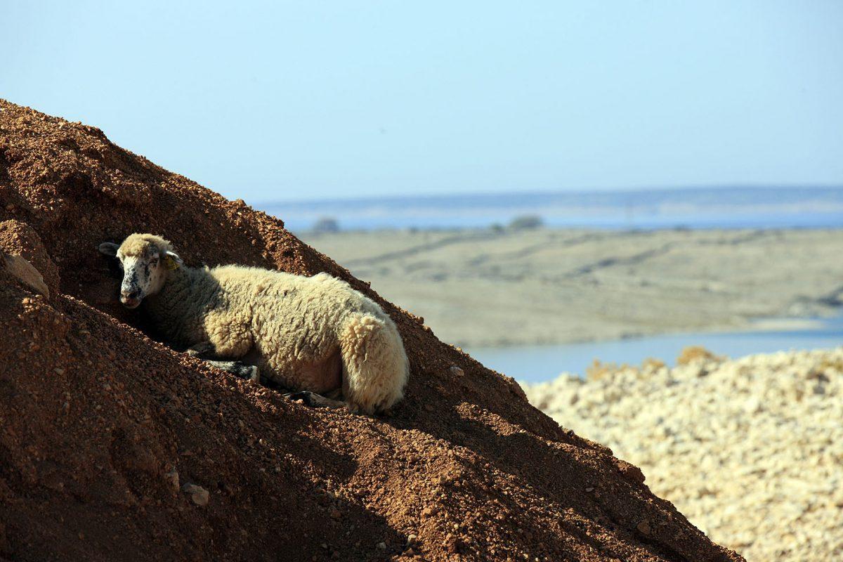 Izložba Paške ovce i sira