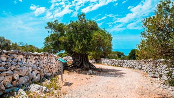 Najstarija-maslina-1600-godina